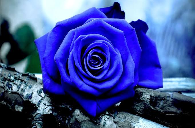 青いバラの写真